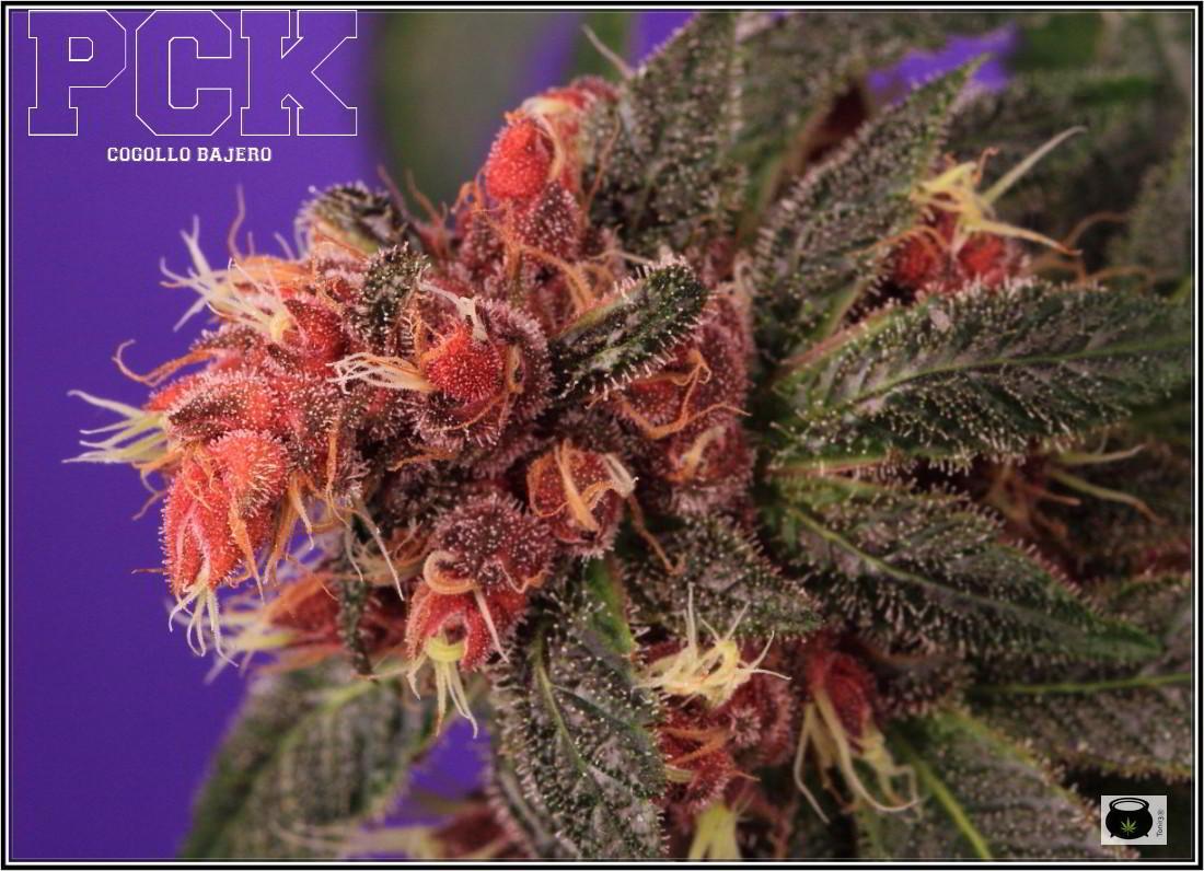 43- Variedad de marihuana PCK, Un mundo rojo entre las plantas 2