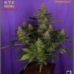 37- Variedad de marihuana NYC Diesel 44 días a 12/12 La monstruosa