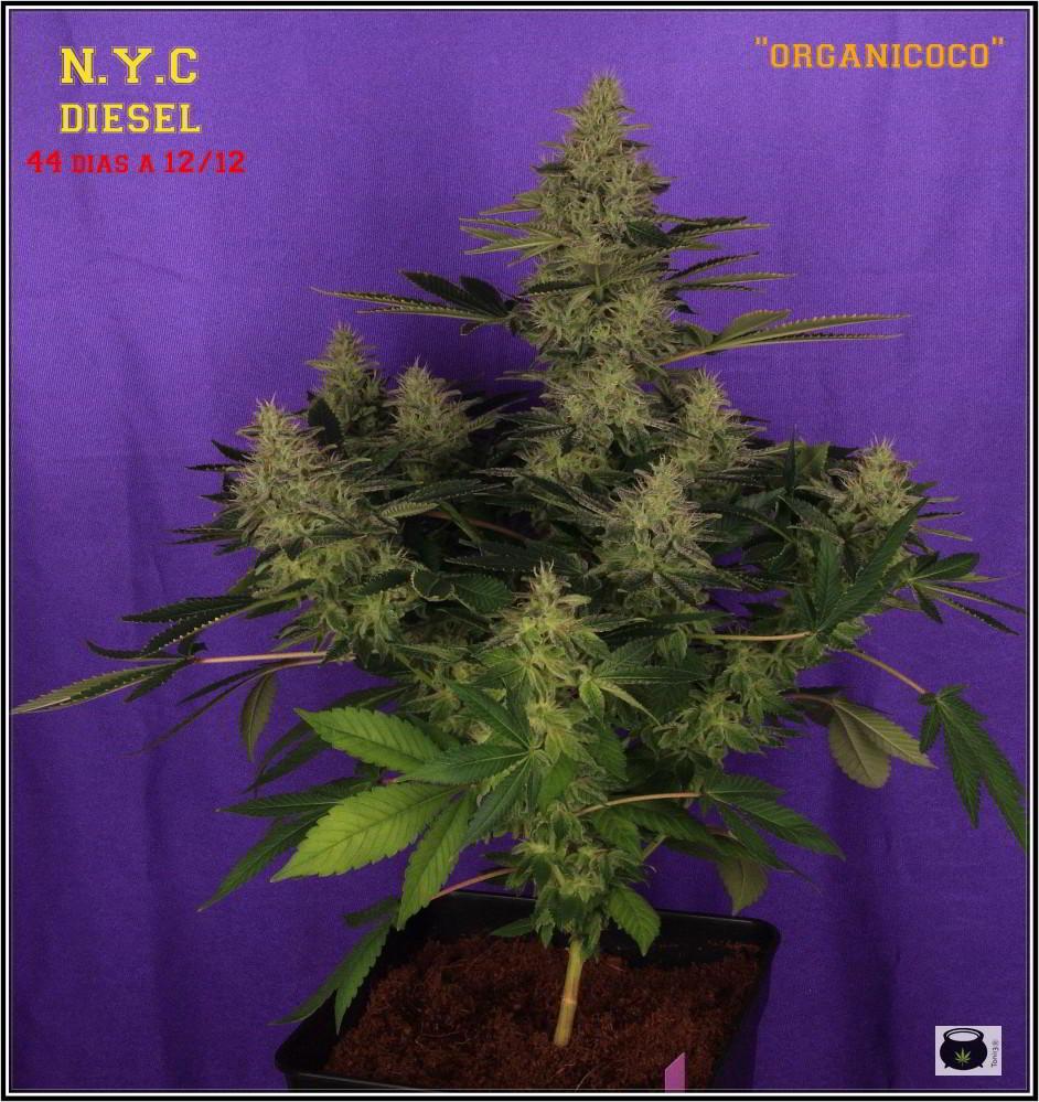 37- Variedad de marihuana NYC Diesel 44 días a 12/12 La monstruosa 1