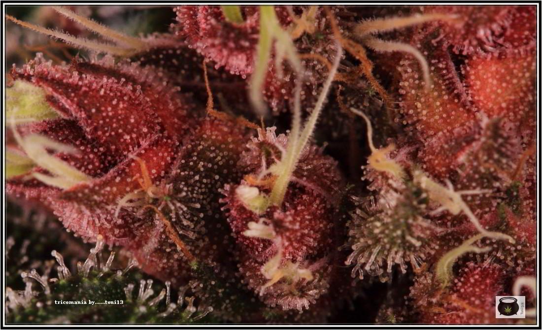 43- Variedad de marihuana PCK, Un mundo rojo entre las plantas 3