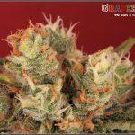 38- Variedad de marihuana Grapefruit, 46 días a 12-12