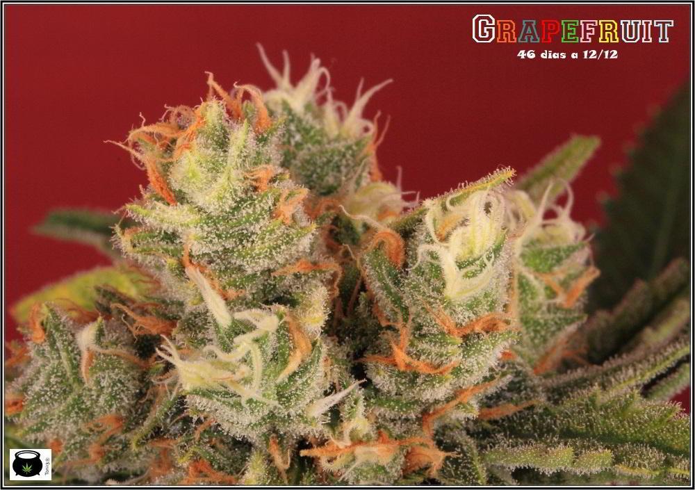 38- Variedad de marihuana Grapefruit, 46 días a 12-12 1