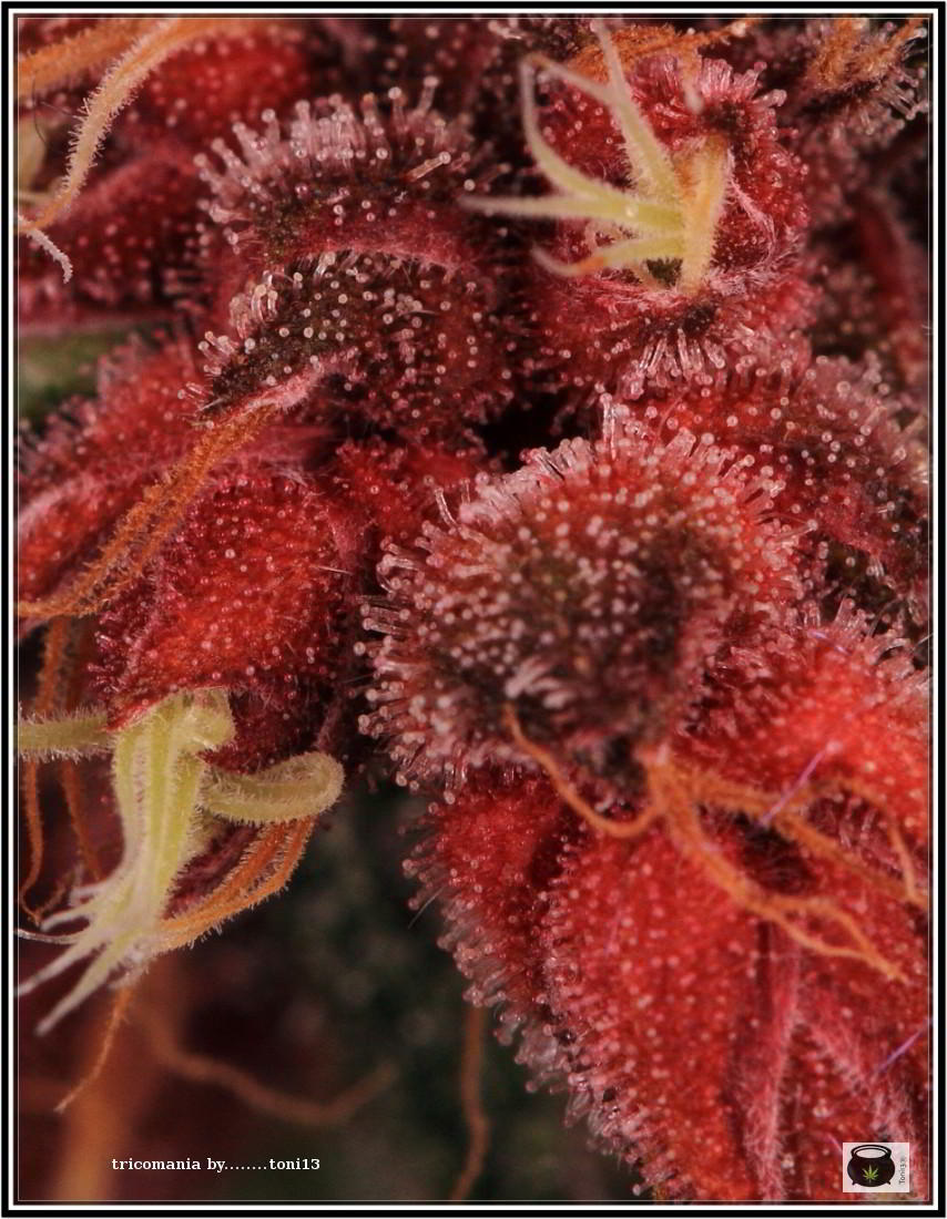 43- Variedad de marihuana PCK, Un mundo rojo entre las plantas 4