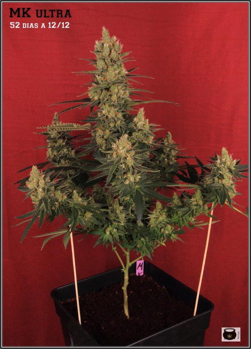 41- Variedad de marihuana MK ultra, 52 días a 12/12 1