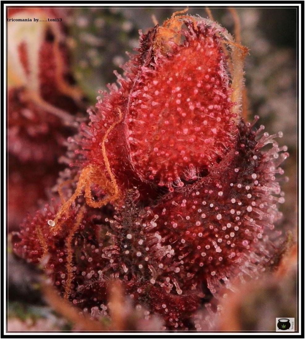 43- Variedad de marihuana PCK, Un mundo rojo entre las plantas 5