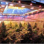 Distancia de la lámpara adecuada en un cultivo de marihuana
