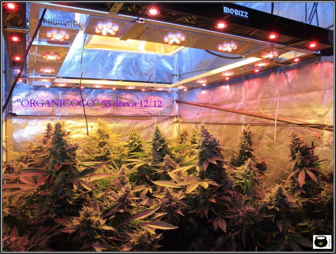Distancia de la lámpara o LED en un cultivo de marihuana