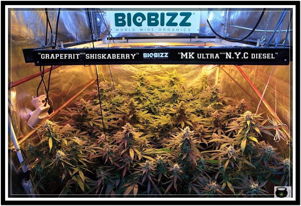 31- Vista general cultivo de marihuana orgánico, 31 días a 12/12 2