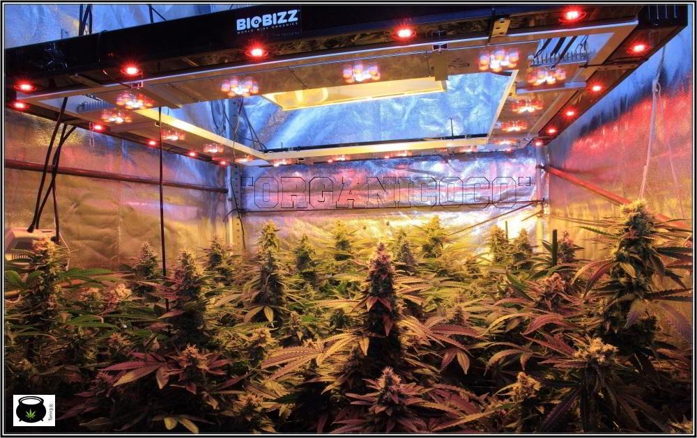 34- 39 días a 12/12, vista general del cultivo de marihuana organicoco 2
