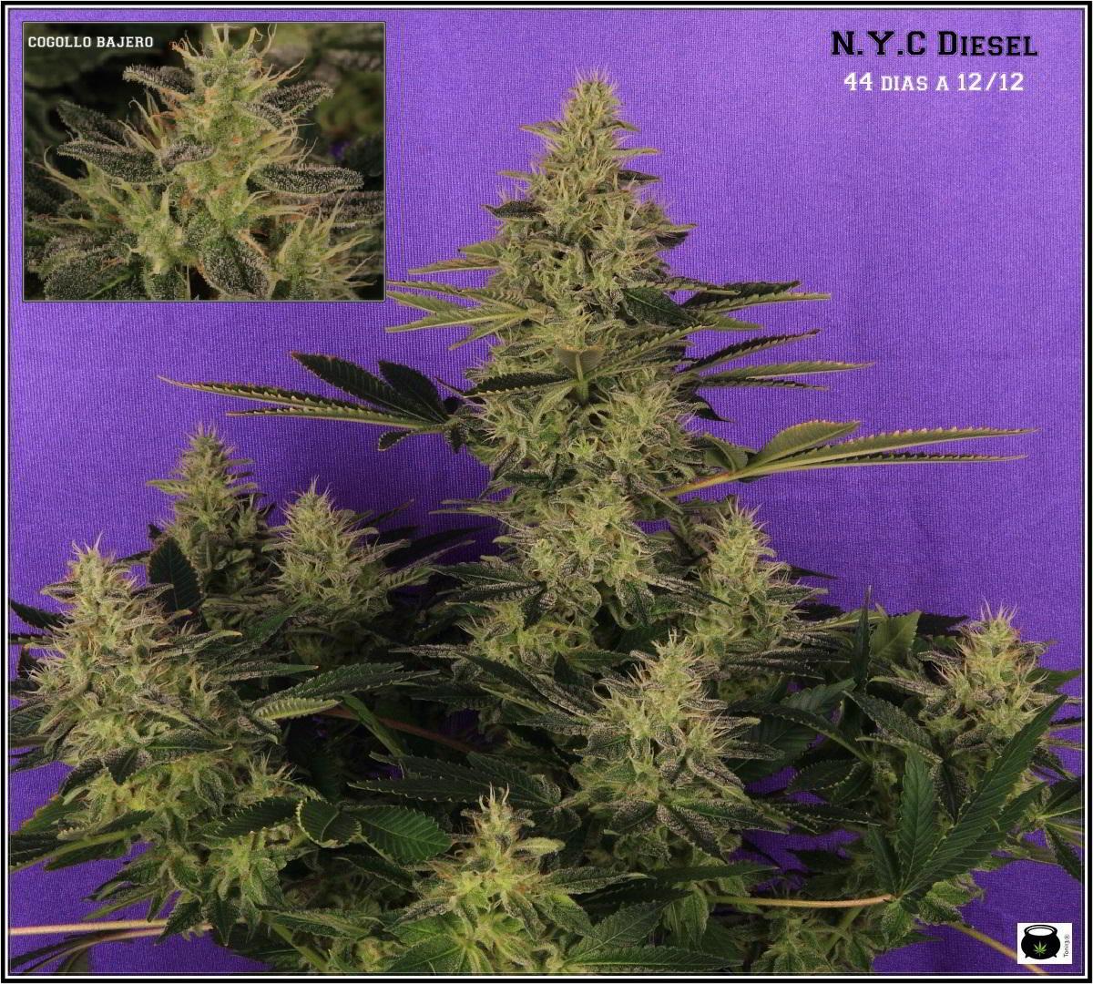 37- Variedad de marihuana NYC Diesel 44 días a 12/12 La monstruosa 2