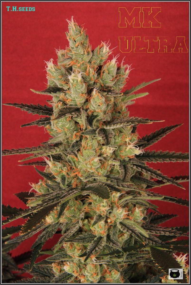 41- Variedad de marihuana MK ultra, 52 días a 12/12