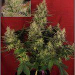 44- Vista general del cultivo de marihuana orgánico, 55 días a 12/12