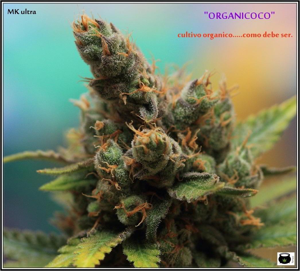 46- Especial variedad de marihuana MK ultra, cortada con 57 días a 12/12 2