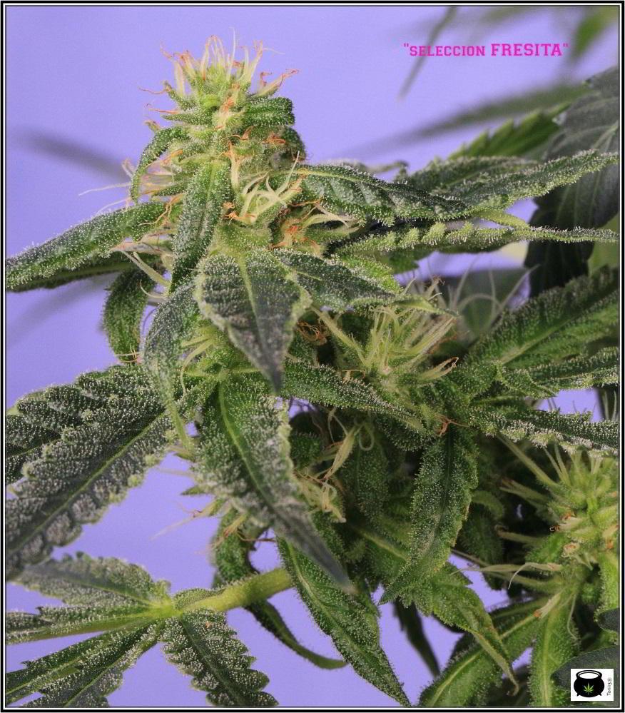 30- Variedad de marihuana Shiskaberry selección Fresita 31 días a 12/12 2