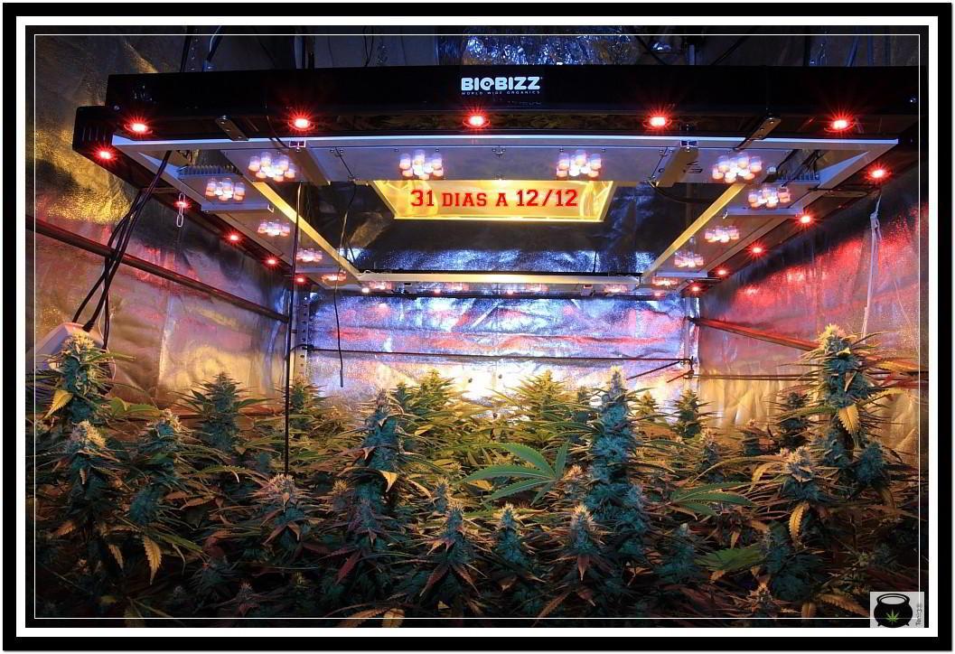 31- Vista general cultivo de marihuana orgánico, 31 días a 12/12 3