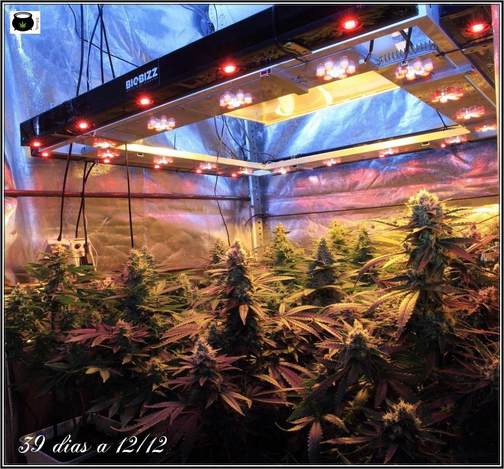 34- 39 días a 12/12, vista general del cultivo de marihuana organicoco 3