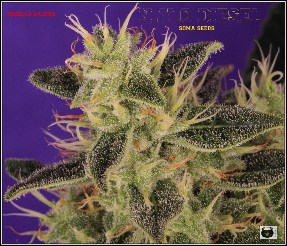 37- Variedad de marihuana NYC Diesel 44 días a 12/12 La monstruosa 3