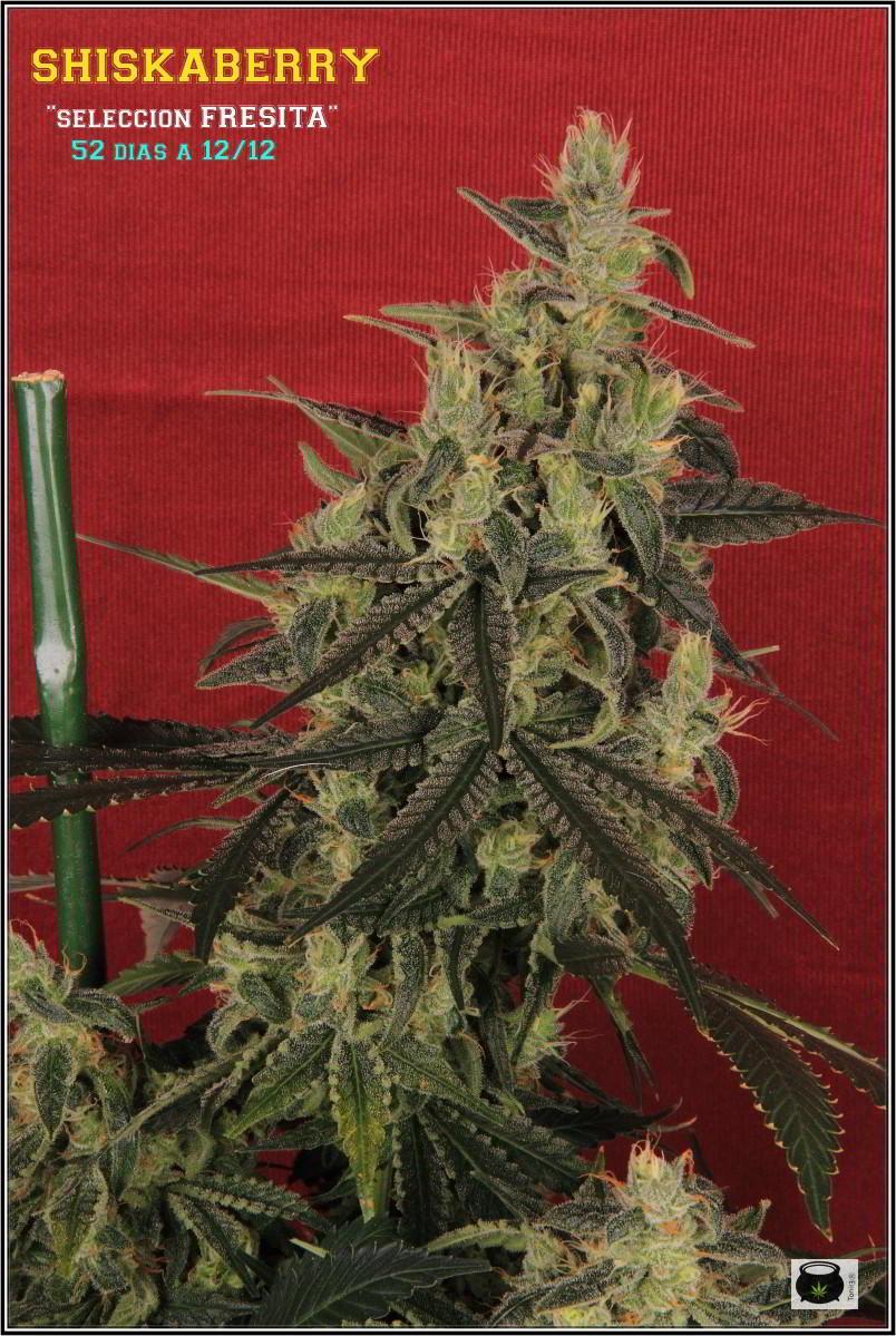 41- Variedad de marihuana MK ultra, 52 días a 12/12 3
