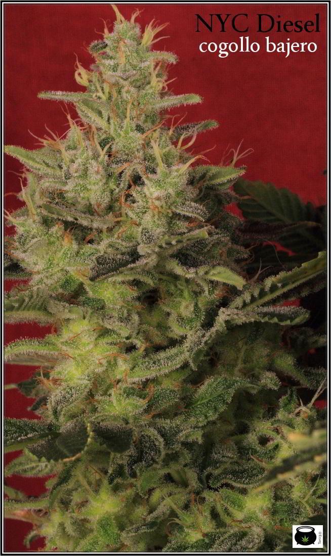 44- Vista general del cultivo de marihuana orgánico, 55 días a 12/12 3
