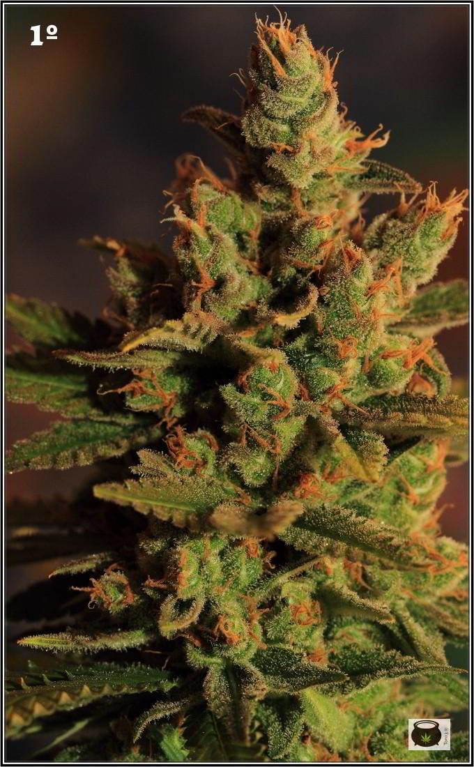 46- Especial variedad de marihuana MK ultra, cortada con 57 días a 12/12 3