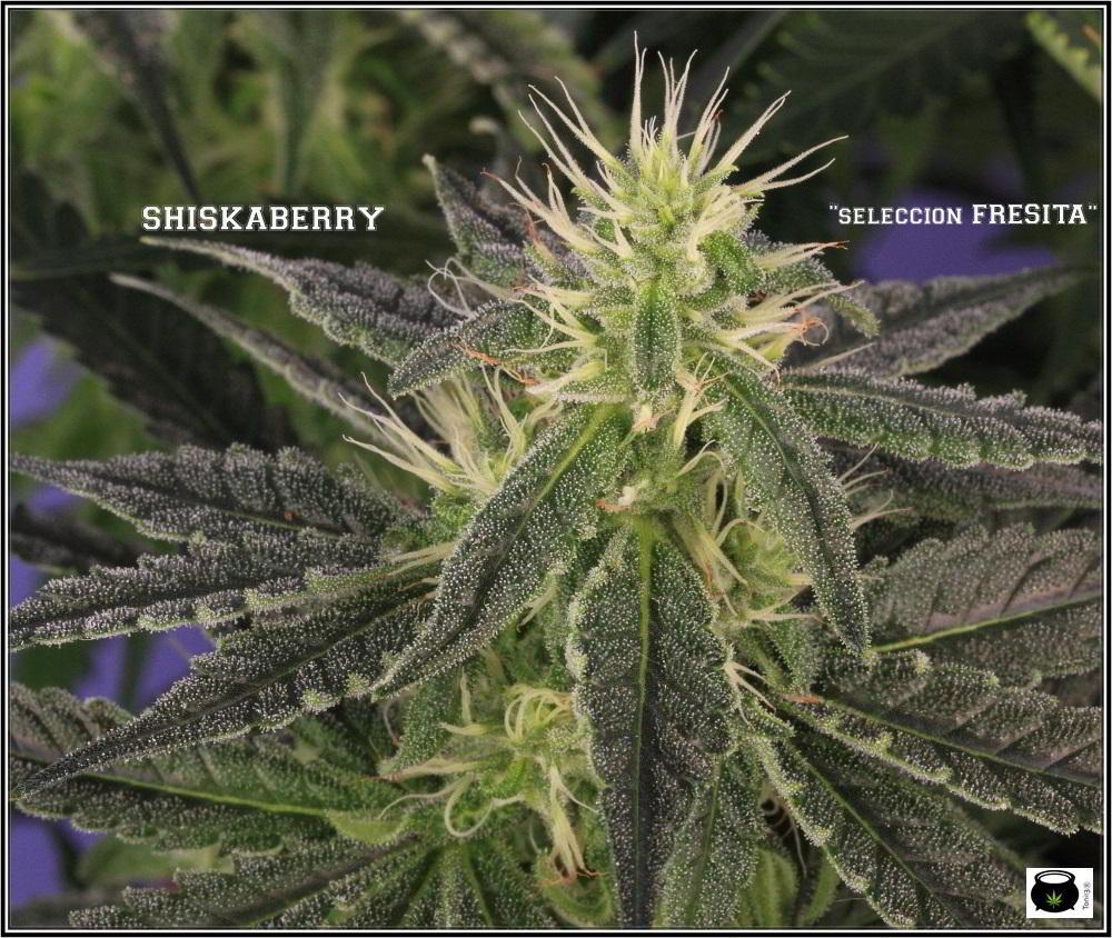 30- Variedad de marihuana Shiskaberry selección Fresita 31 días a 12/12 3