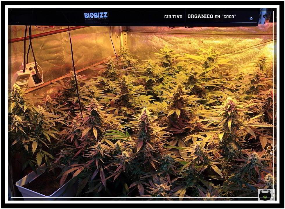 31- Vista general cultivo de marihuana orgánico, 31 días a 12/12 4