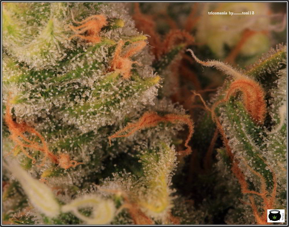 38- Variedad de marihuana Grapefruit, 46 días a 12-12 3