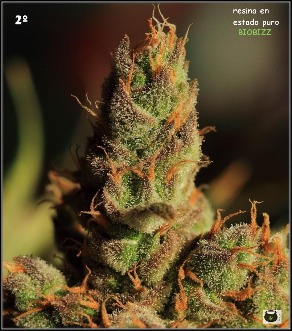 46- Especial variedad de marihuana MK ultra, cortada con 57 días a 12/12 4