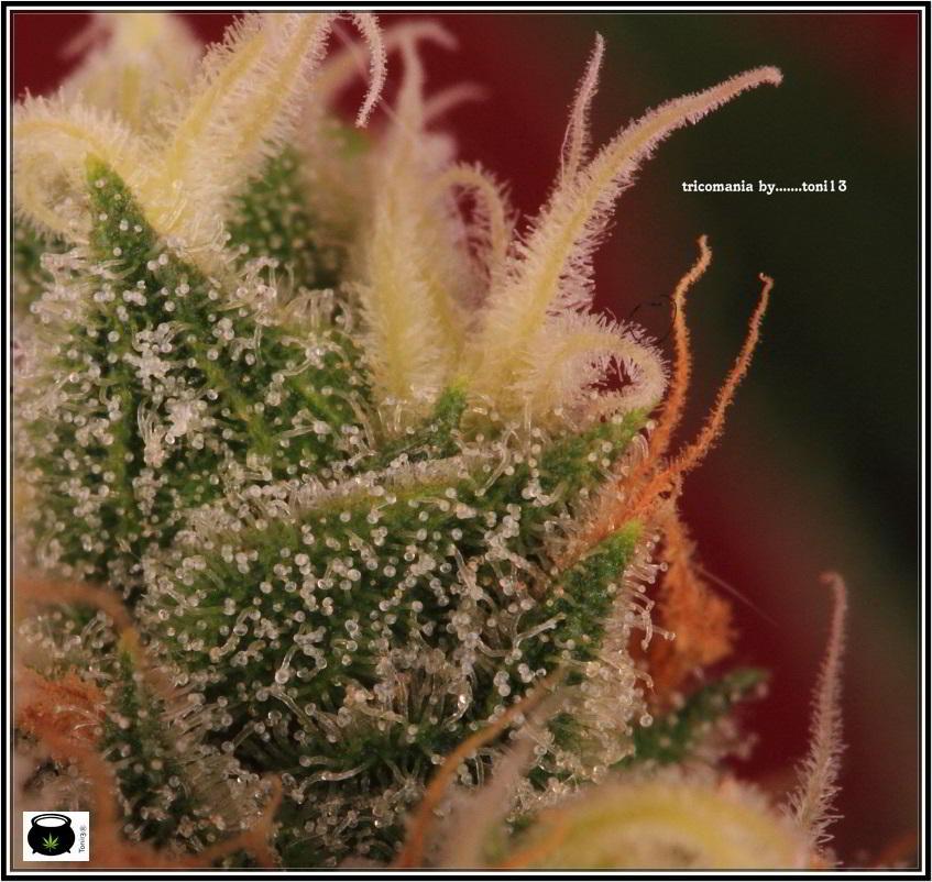 38- Variedad de marihuana Grapefruit, 46 días a 12-12 4