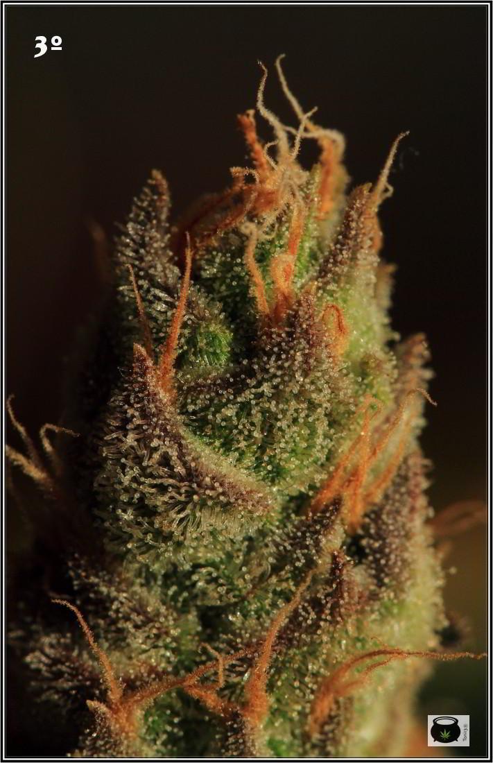 46- Especial variedad de marihuana MK ultra, cortada con 57 días a 12/12 5