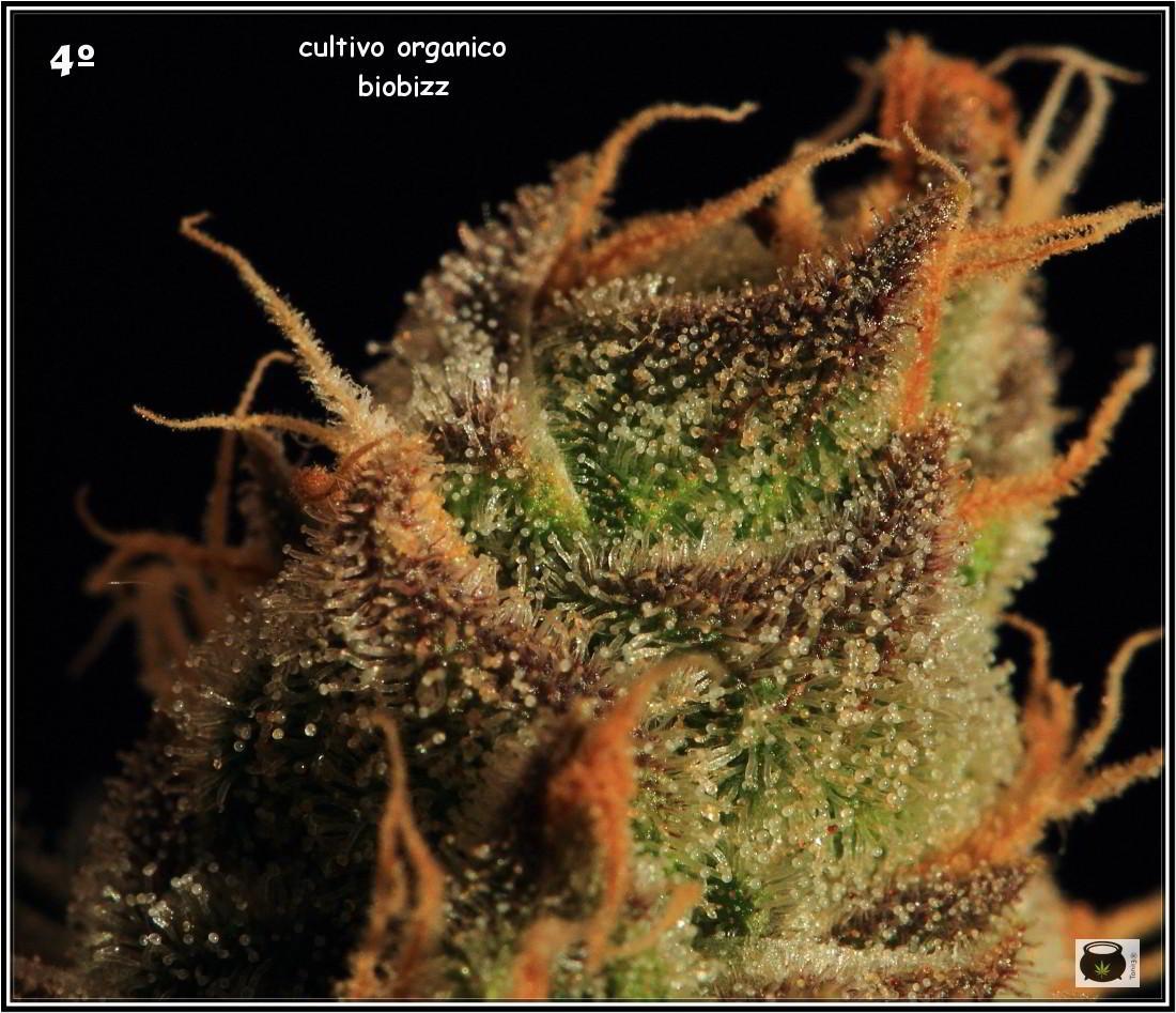 46- Especial variedad de marihuana MK ultra, cortada con 57 días a 12/12 6