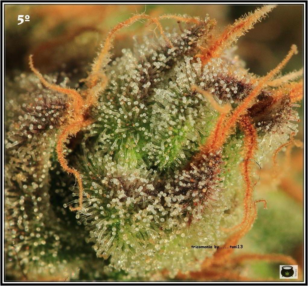 46- Especial variedad de marihuana MK ultra, cortada con 57 días a 12/12 7