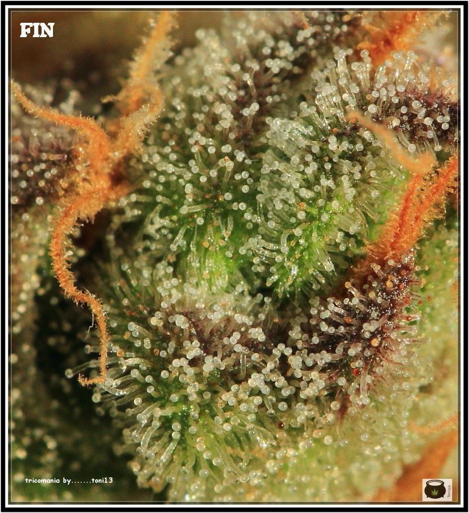 46- Especial variedad de marihuana MK ultra, cortada con 57 días a 12/12 8