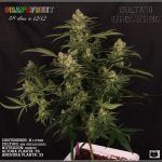 33- Variedad de marihuana Grapefruit, ya ha empezado a madurar