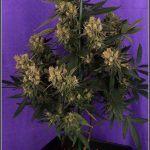 36- Variedad de marihuana Grapefruit 44 días a 12/12