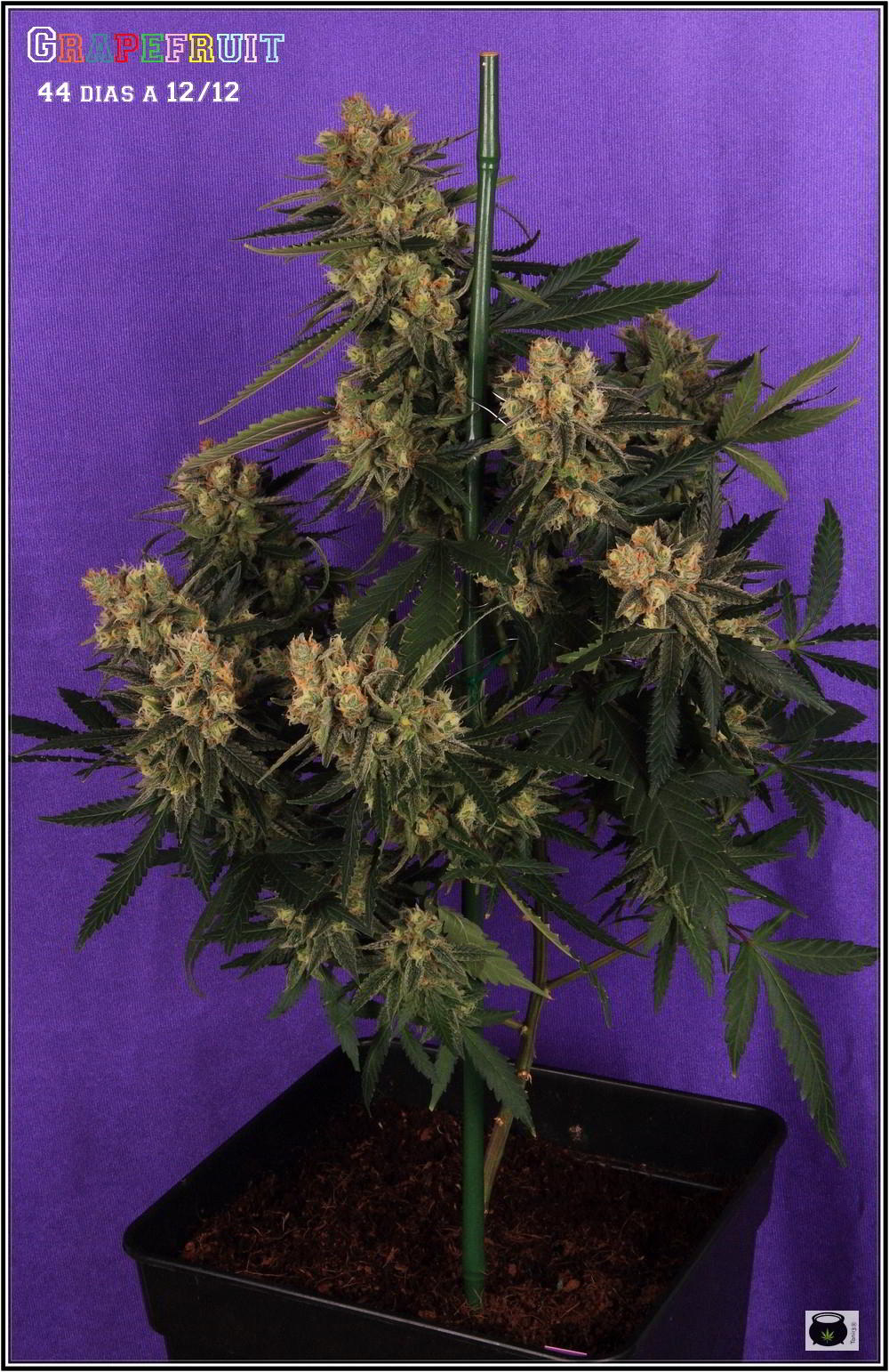 36- Variedad de marihuana Grapefruit 44 días a 12/12 1