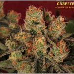 39- Variedad de marihuana Grapefruit, cosechada con 47 días