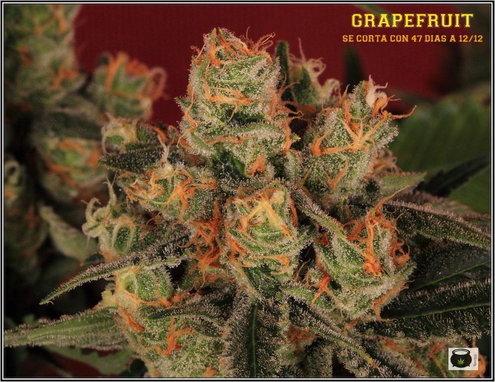 39- Variedad de marihuana Grapefruit, cosechada con 47 días 1