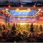 40- Antes y después del cultivo de marihuana orgánico organicoco