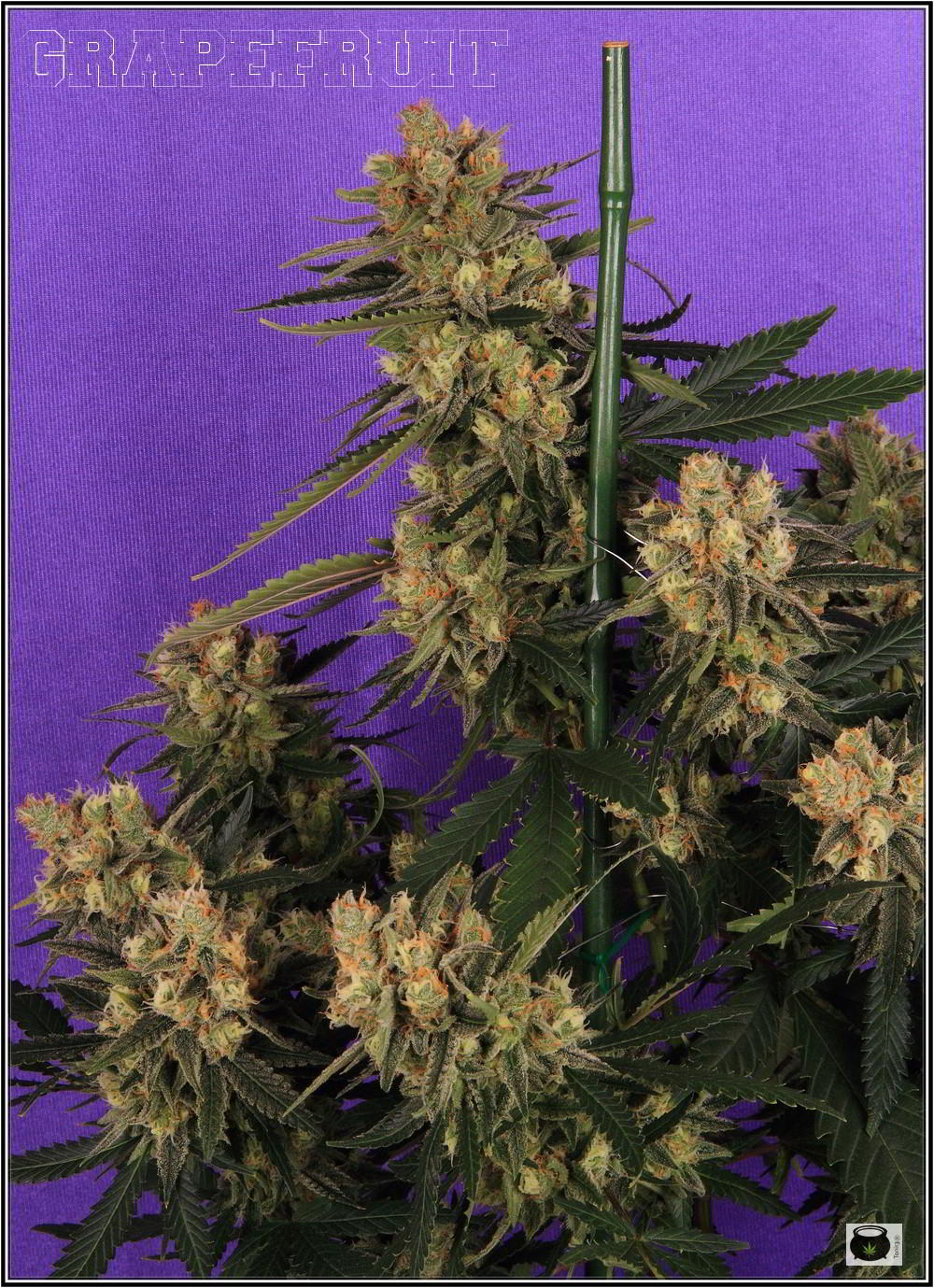 36- Variedad de marihuana Grapefruit 44 días a 12/12 2