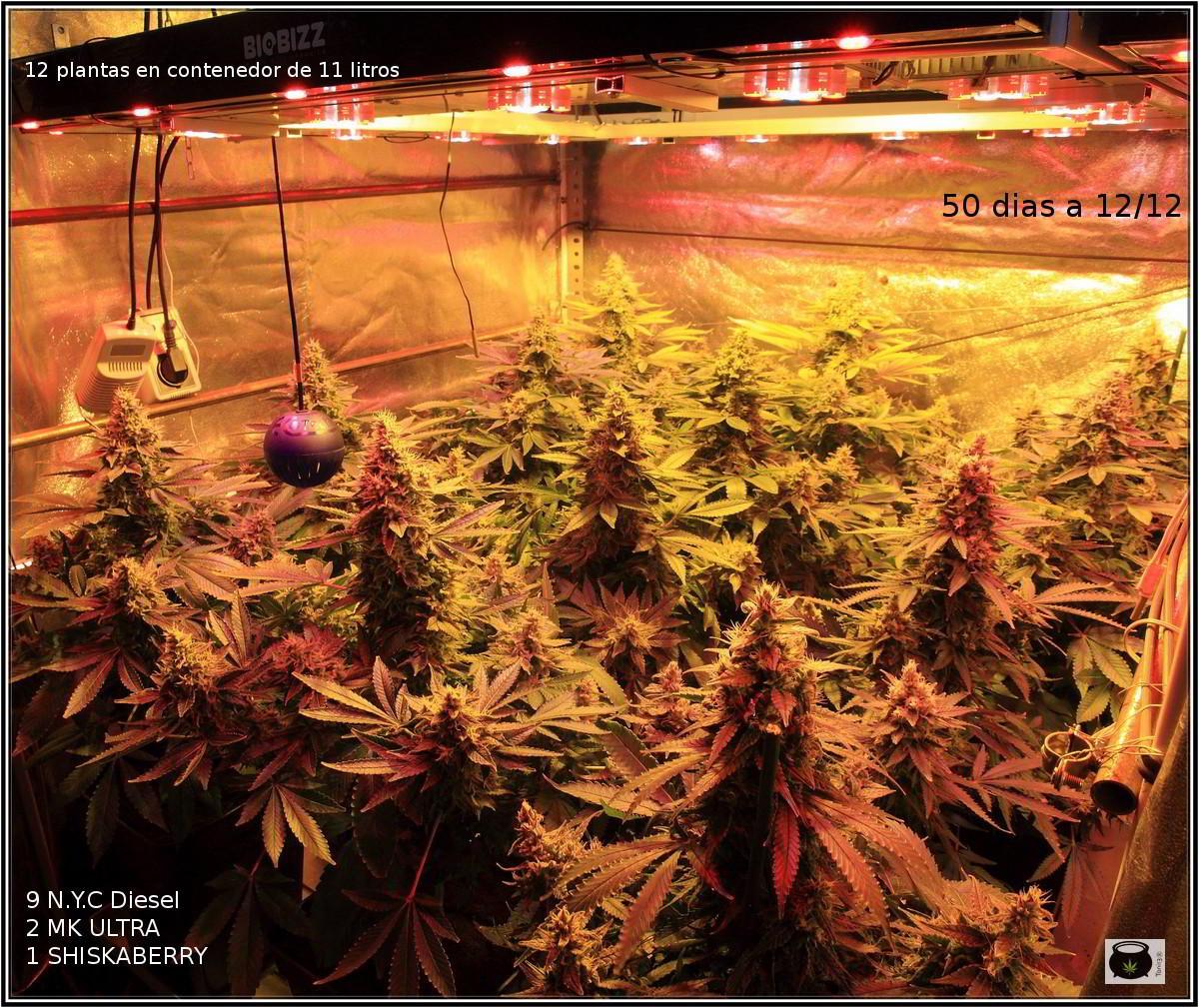 Cultivo de marihuana LED no aporta calor a las plantas