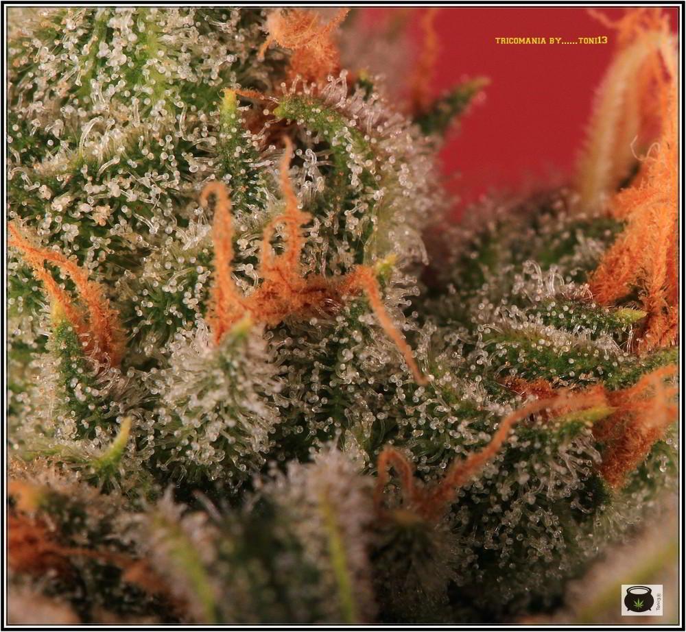 39- Variedad de marihuana Grapefruit, cosechada con 47 días 3