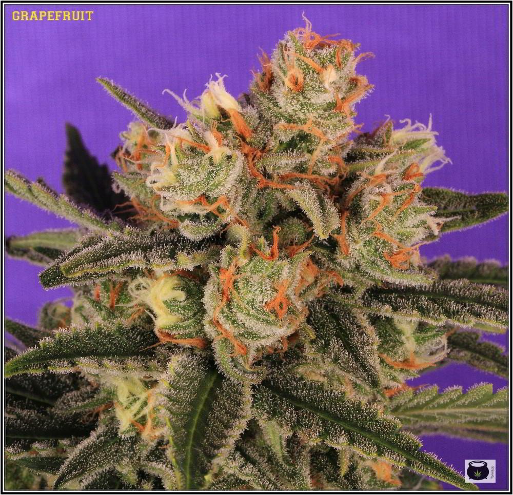 36- Variedad de marihuana Grapefruit 44 días a 12/12 3