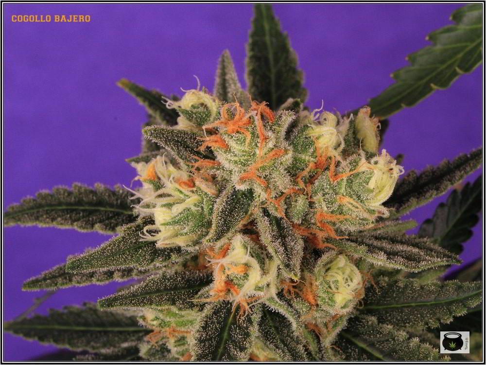 36- Variedad de marihuana Grapefruit 44 días a 12/12 4