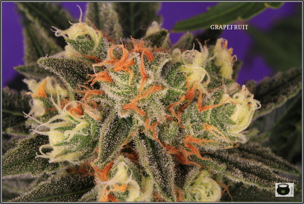 36- Variedad de marihuana Grapefruit 44 días a 12/12 5