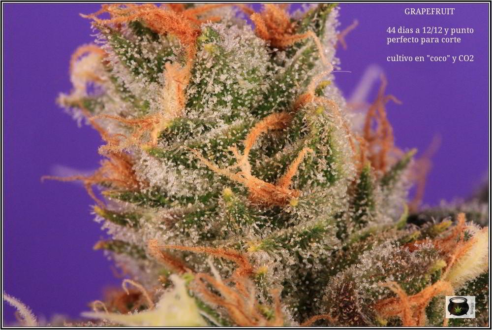 36- Variedad de marihuana Grapefruit 44 días a 12/12 7
