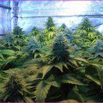 Plan nutricional adecuado en cultivos de marihuana