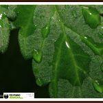 Efecto lupa en las hojas de las plantas de marihuana