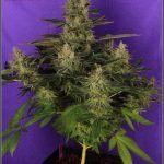 42- Variedad de marihuana NYC diesel, 52 días a 12/12