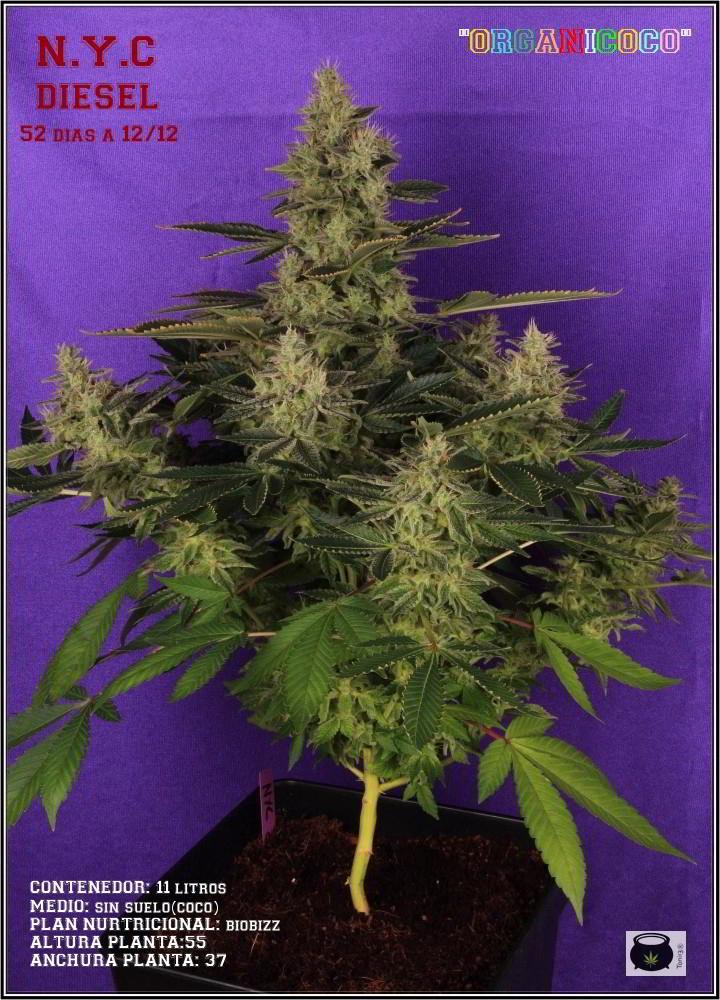 42- Variedad de marihuana NYC diesel, 52 días a 12/12 1